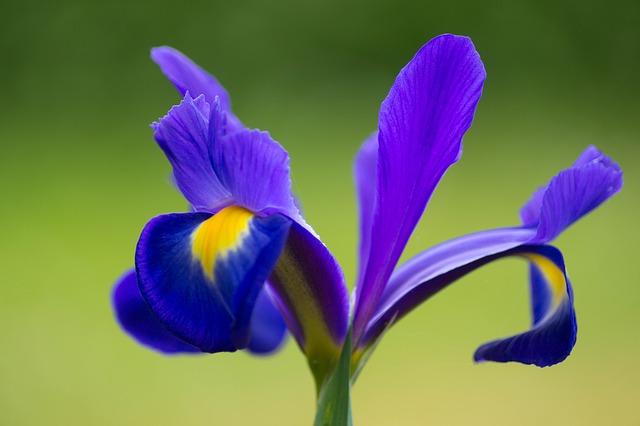 iris-928945_640