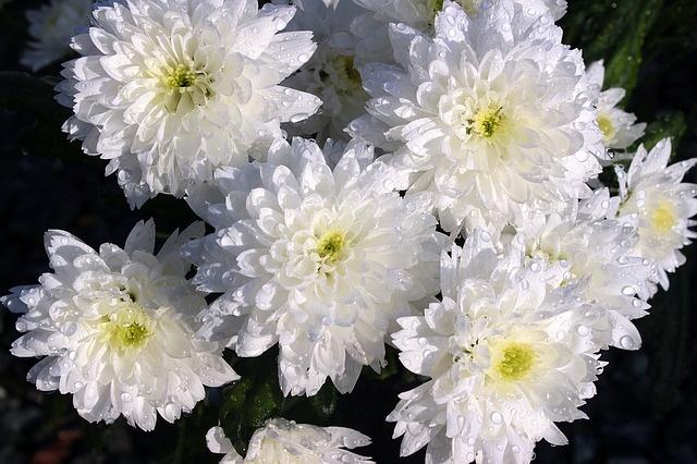chrysanthem0